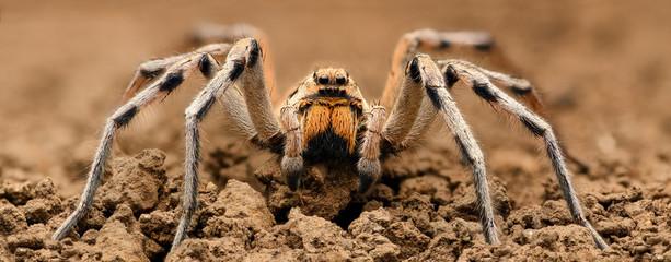 Ekstremalne powiększenie - Wolf Spider, ujęcie całego ciała, wysoka rozdzielczość