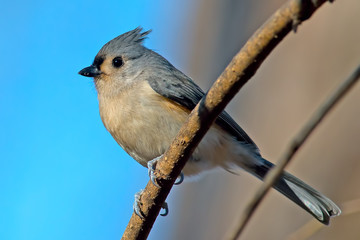 Tufted Titmouse on a tree branch