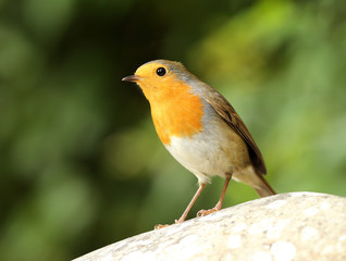 Portrait of a Robin perched on a rock