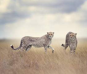 Two Cheetahs Walking