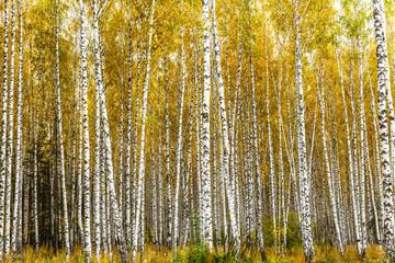 Gaj brzozowy wczesną jesienią