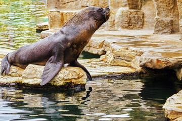 Cute playful California sea lions (Zalophus californianus) on ro