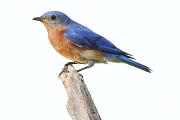 Isolated Bluebird On A Perch With A White Background