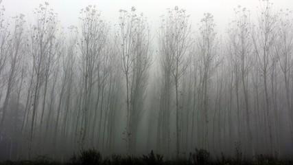 Nebbia nel pioppeto
