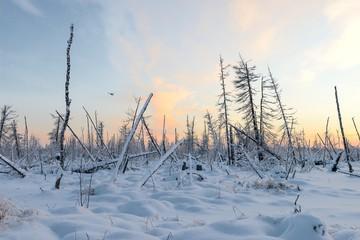 dead forest in winter in Siberian taiga