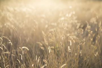 Foxtail grass field in the morning sun