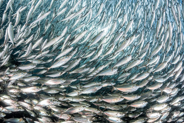 sardine school of fish underwater