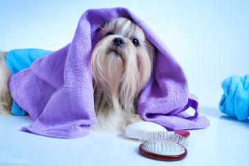 Shih tzu dog after washing
