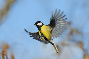 Flying Great Tit with open wings against blue sky background