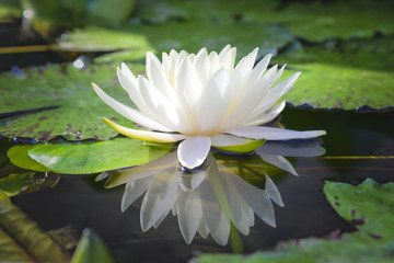 white lotus flower reflect with the water in the pond