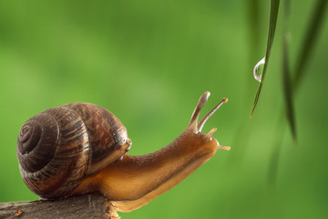 Garden snail reaches for a drop of dew on the grass