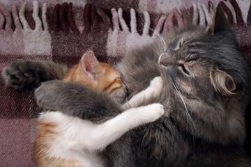 Кошки вместе спят на клетчатом пледе. Большая серая кошка мама и маленький котенок, белый с рыжим. Домашние питомцы. Мама обнимает ребенка ласково и прижимает к себе.