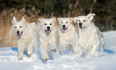 four golden retriever dogs running outdoors in winter