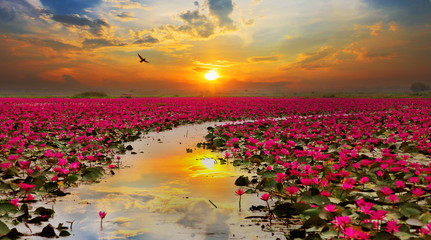 Sunshine rising lotus flower in Thailand