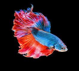 Little fish of siamese fighting fish