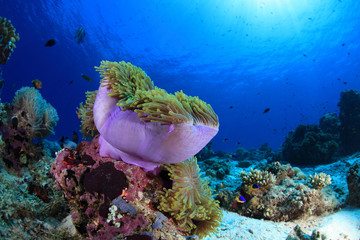 Sea anemone in the tropical coral reef