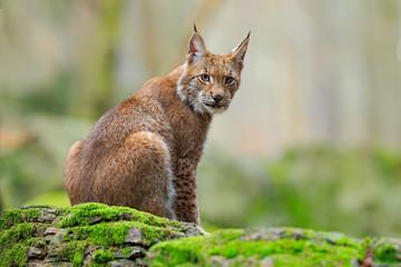 Eurasian Lynx, wild cat sitting on the orange leaves in the forest habitat