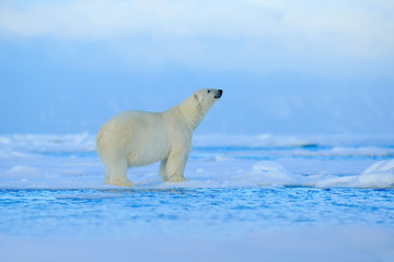 Polar bear, dangerous looking beast on the ice with snow in north Russia, nature habitat