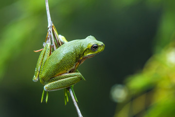A green tree frog is hanging on a branch in front of a blurred background.