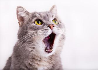 Szary kot podnosi wzrok, miaucząc i szeroko otwierając usta