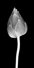 Lotus flower in black and white on black background.