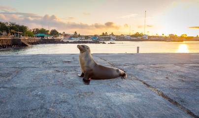 Sea lion near the beach in San Cristobal before sunset ,Galapagos