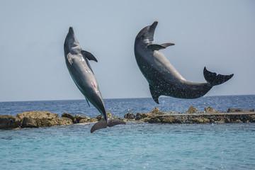 Jumping dolphins in the Caribbean sea - Curacao, Dutch Caribbean