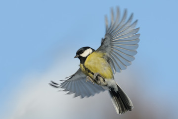 Flying Great tit against blue sky background