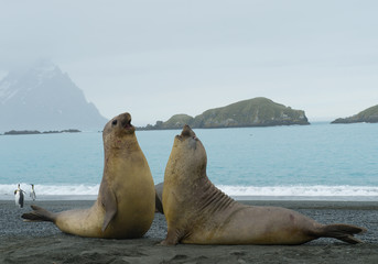 Two young males of elephant seal fighting on the beach, with island in background, South Sandwich Islands, Antarctica