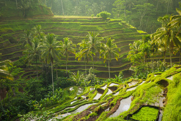 Beautiful rice terraces in the moring light near Tegallalang village, Ubud, Bali, Indonesia.