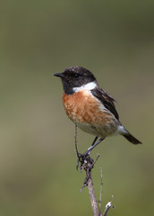 Common Stonechat (Saxicola torquata) male perched, Marazion Marsh RSPB Reserve, Cornwall, England, UK.