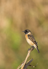 Syberian stonechat male