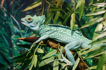 Common basilisk or Basiliscus basiliscus