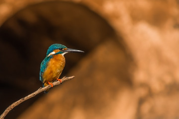 Common Kingfisher perched on a tiny branch with a nice brown background