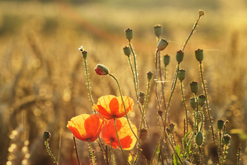 Poppy field, poppy in wheat and in the company of wild flowers
