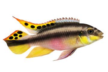 Male Pelvicachromis pulcher kribensis cichlid Aquarium fish  isolated on white