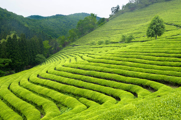 Green tea plantation in South Korea