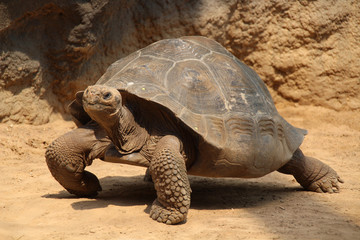 Giant tortoise (Geochelone gigantea)