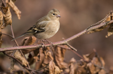 Chaffinch perched on a branch in a forest