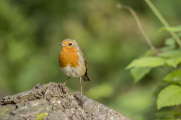 Robin perched on a tree stump