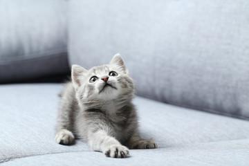 Beautiful little cat on a grey sofa