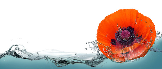 Flower of red poppy in a spray of water.