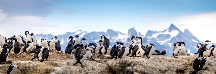 Cormorants - sea birds in Beagle Channel, Ushuaia, Argentina