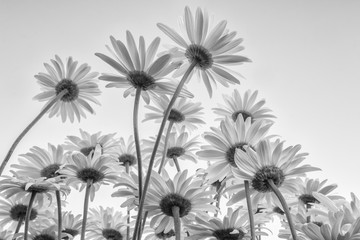 Zamyka up białych kwiatów stokrotki