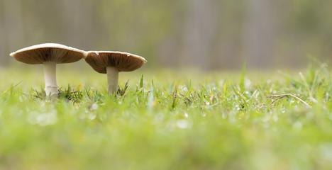 Two live wild mushrooms growing panorama