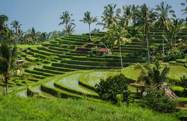 Pola ryżowe z Bali