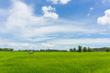 rice field and hut with Cloudy skies and beautiful