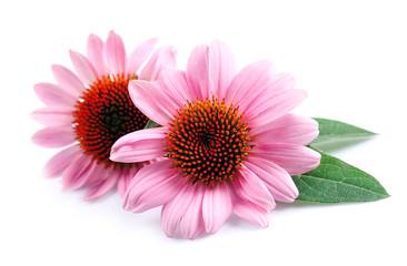 Echinacea kwiaty z bliska