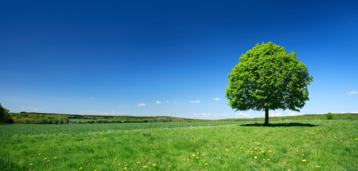 Linden Tree on Meadow with Dandelion Flowers in Spring Landscape under Blue Sky