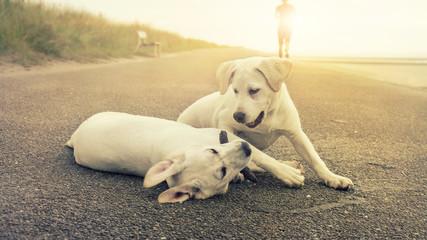 Zwei Labrador Welpen spielen miteinander während ein Jogger an ihnen vorbeiläuft